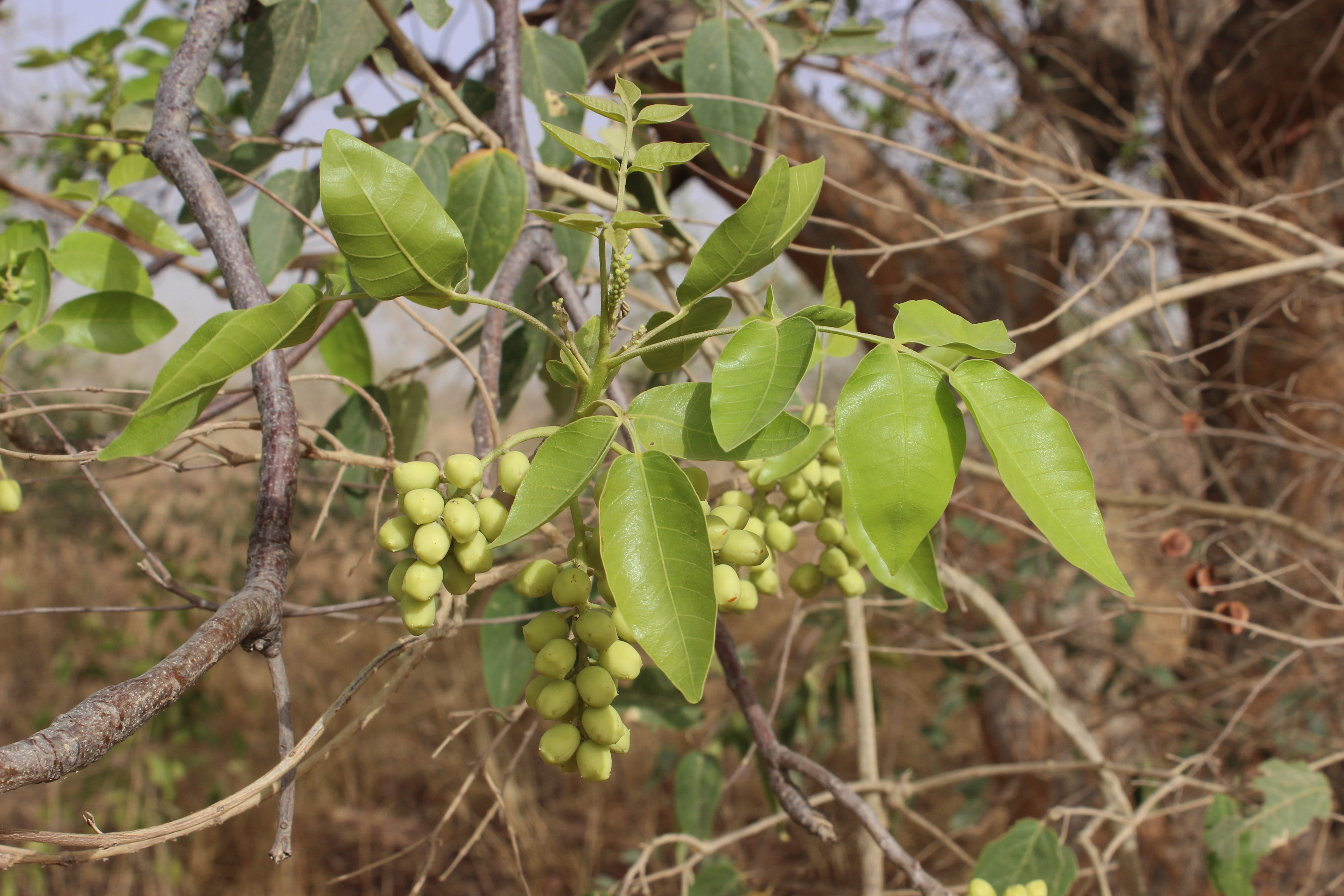 In Africa's Sahel, wild raisins from Lannea microcarpa are an important fruit.