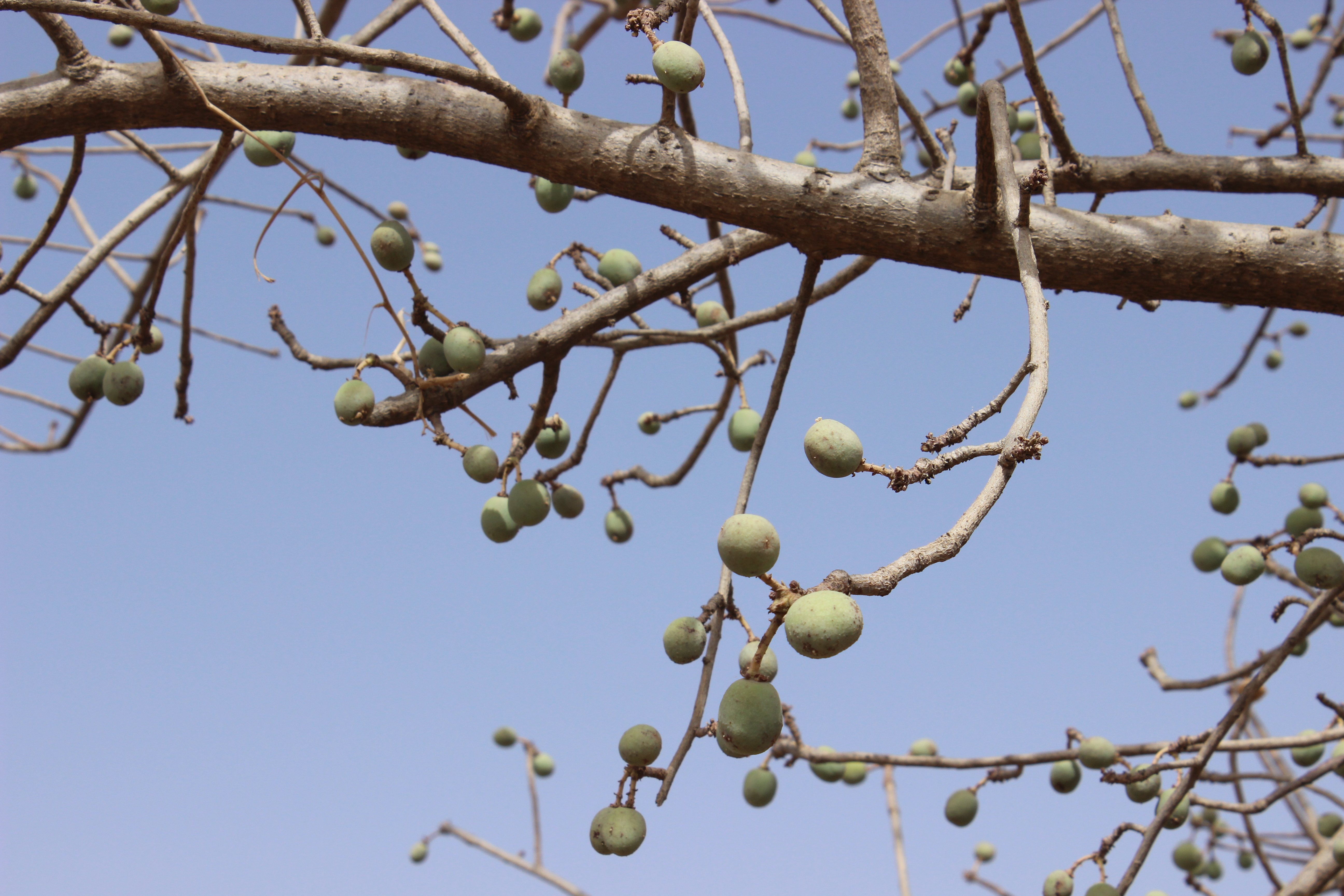 Source of the famous liqueur 'Amarula', fresh fruit from Sclerocarya birrea are important in Sahelian diets..
