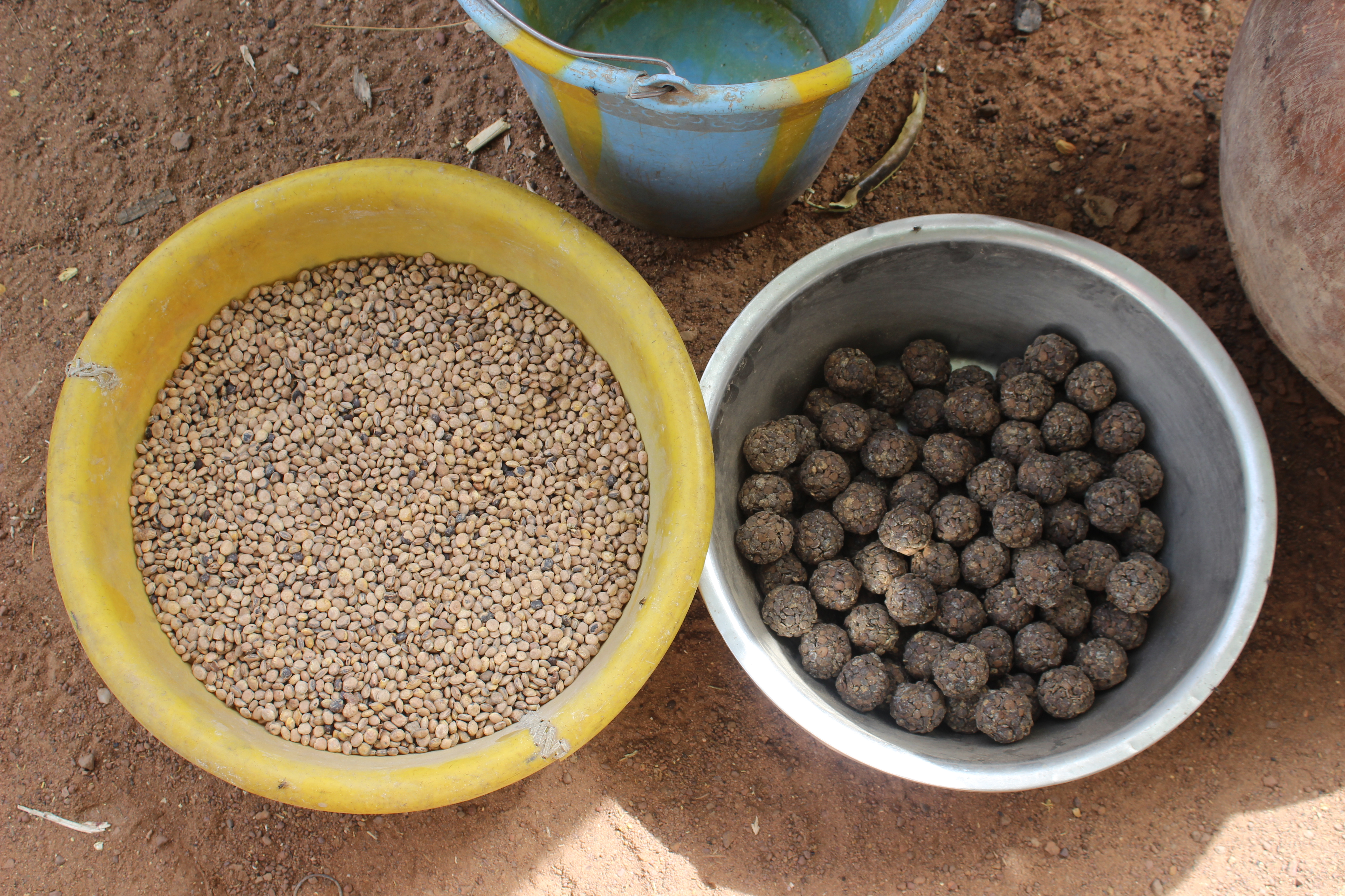 Seeds from Parkia biglobosa pods made into nutritious condiment, 'soumbala' in Mali.