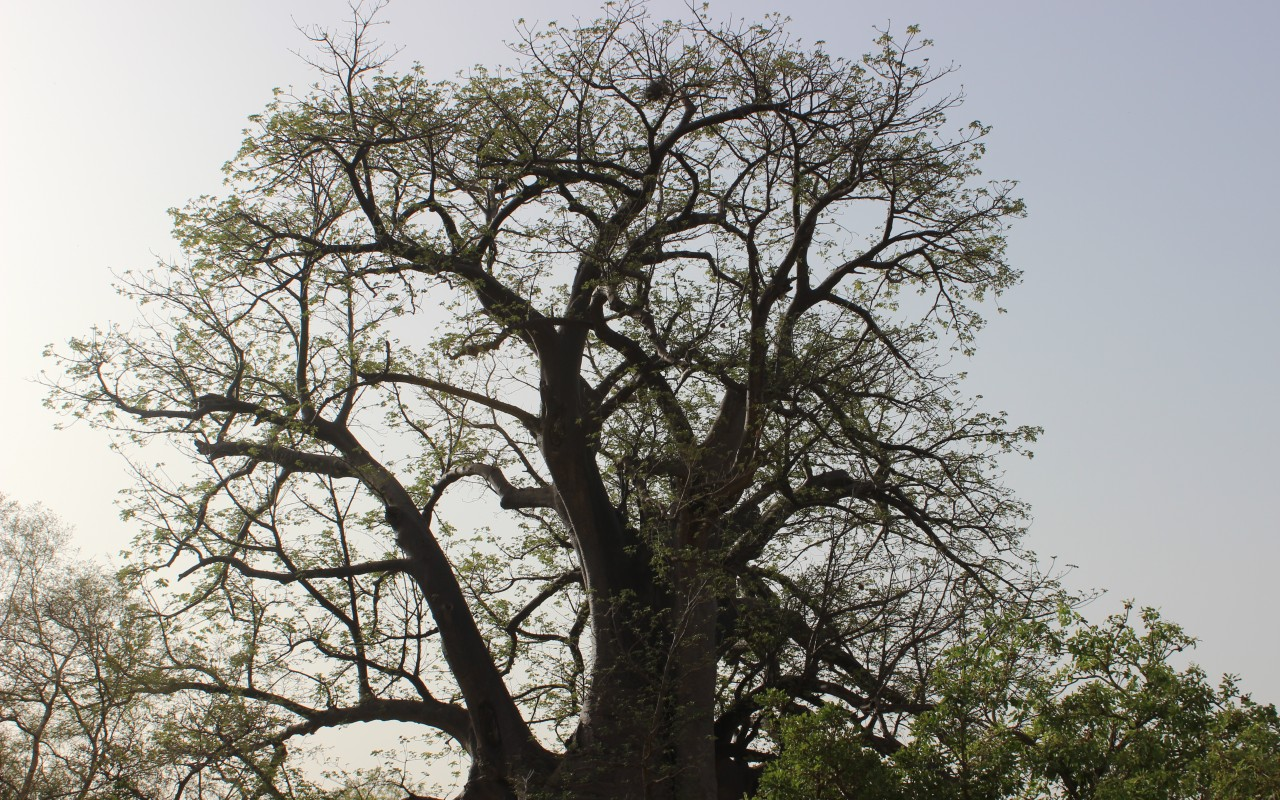 In most of Africa, traditional farms involve trees – a practice known as agroforestry.