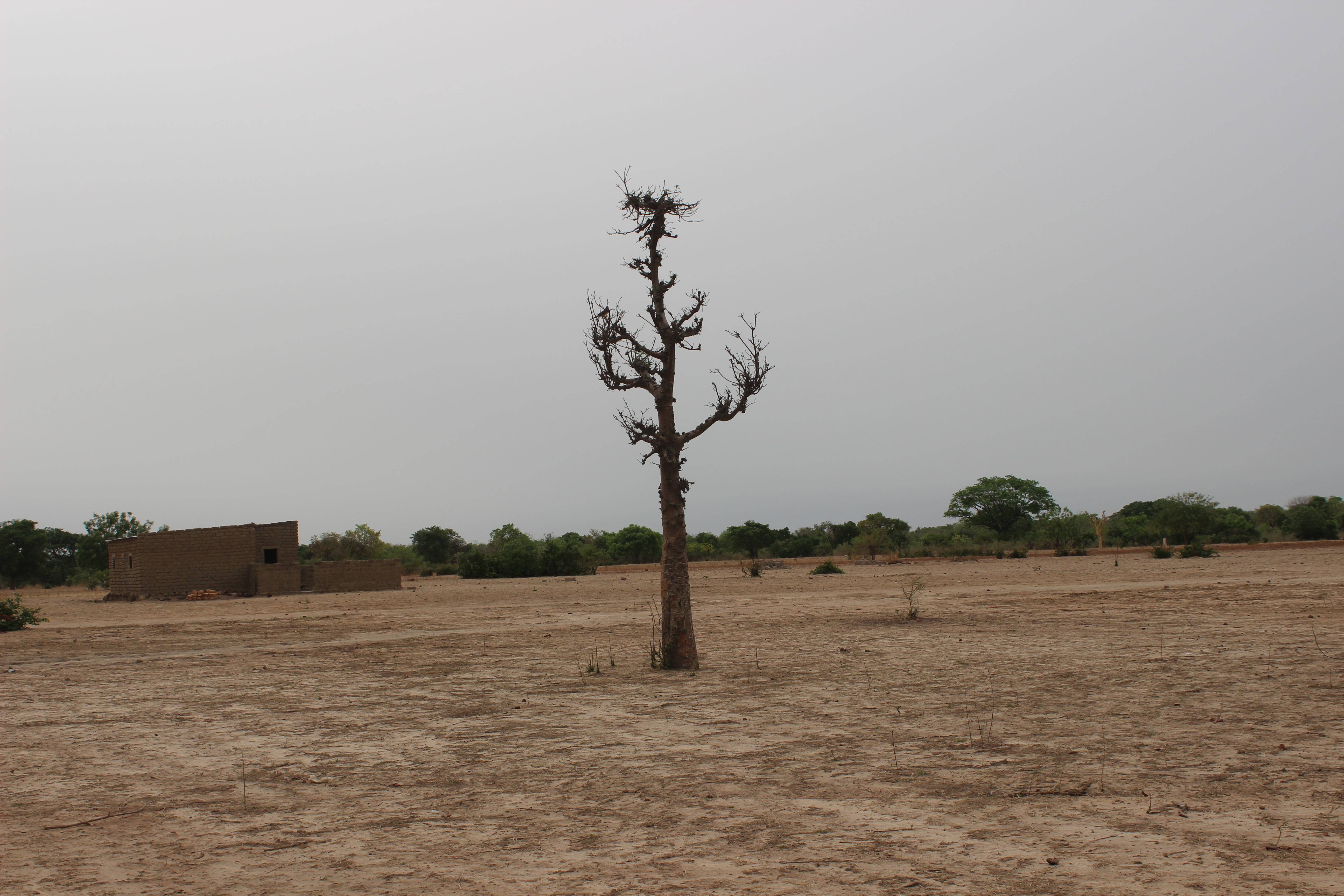 Baobab leaves (Adansonia digitata) are vitamin-rich staples in some Sahel diets, causing over-exploitation.