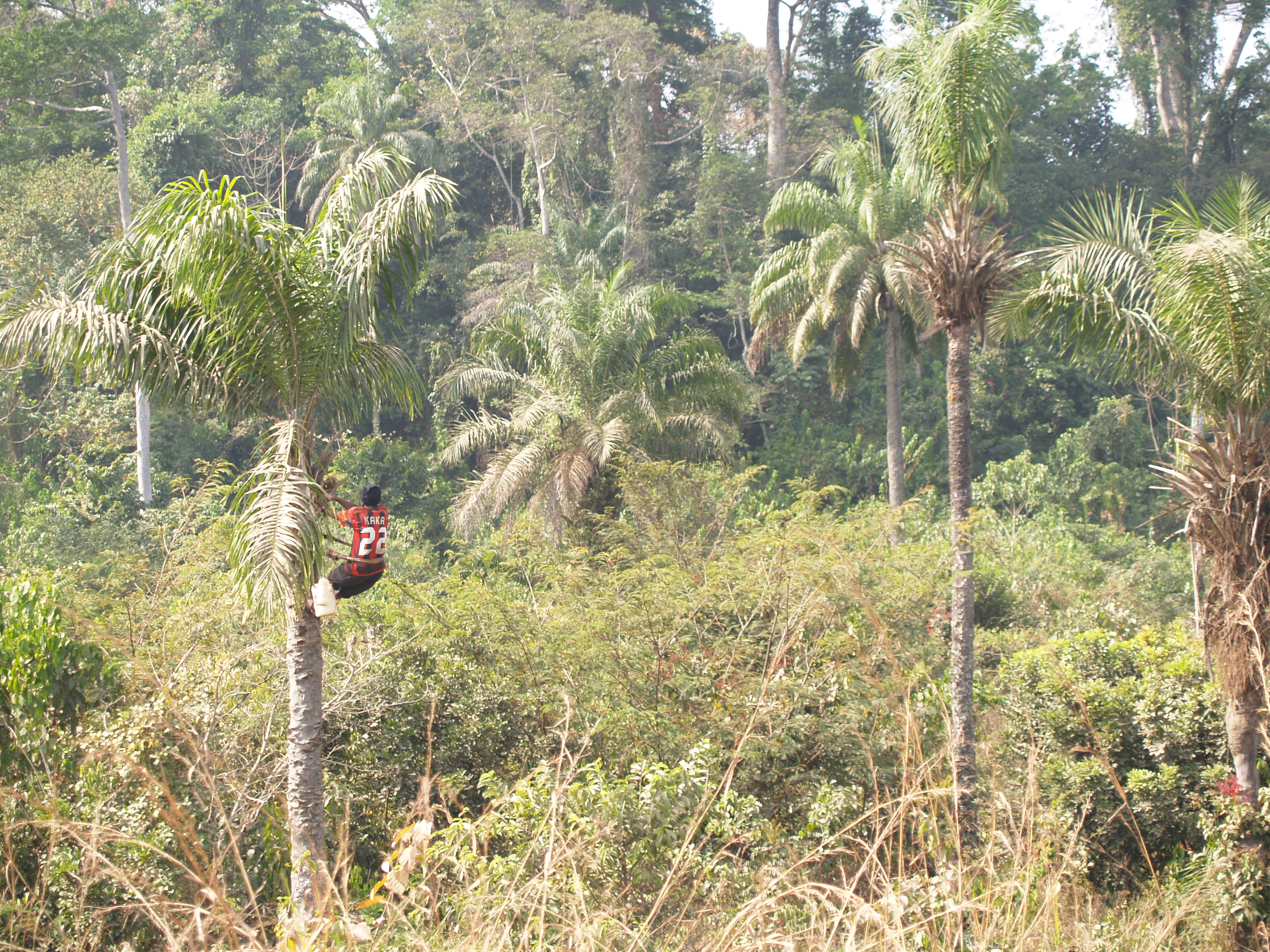 Palm wine or 'poyo' in Sierra Leone is harvested from the African oil palm (Elaeis guineense).