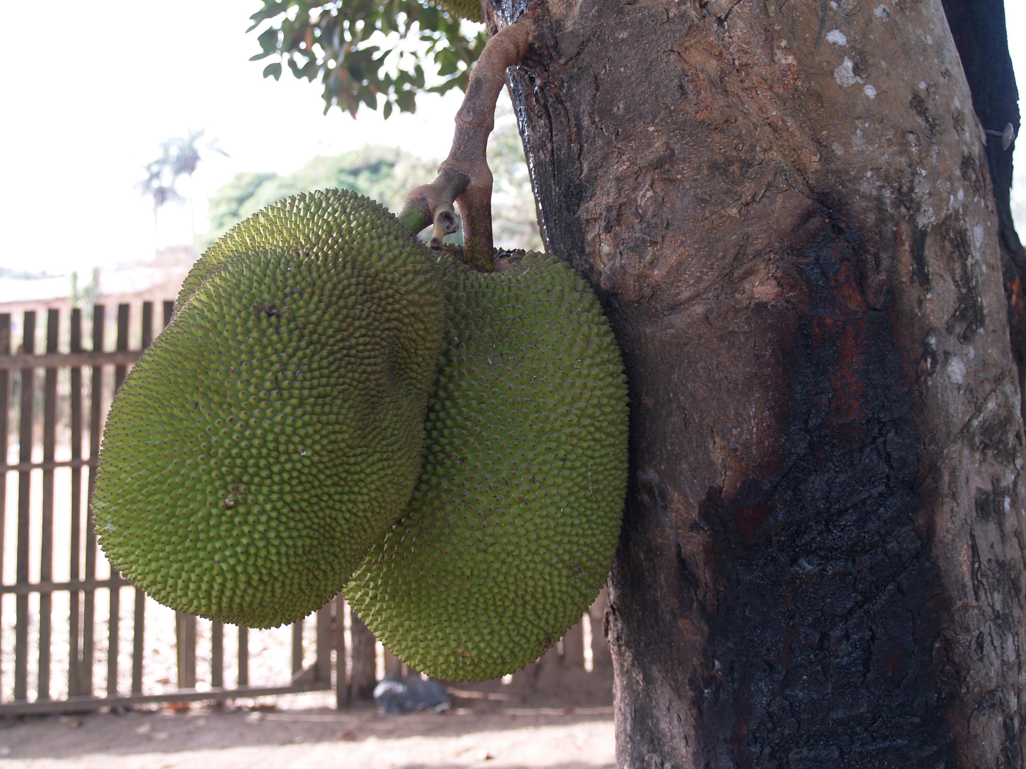 Breadfruit (Artocarpus altilis) is a much-loved fruit in Sierra Leone.