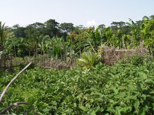 Family farms across Africa tend to be highly diverse, integrating annual crops with trees that also produce food and enrich soils, and sometimes some poultry and ruminants. Photo credit: Joan Baxter