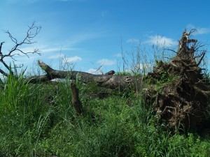 To make way for its sugarcane plantations in Sierra Leone, Addax Bioenergy had to fell many trees, including ones that produce valuable food such as kenda.