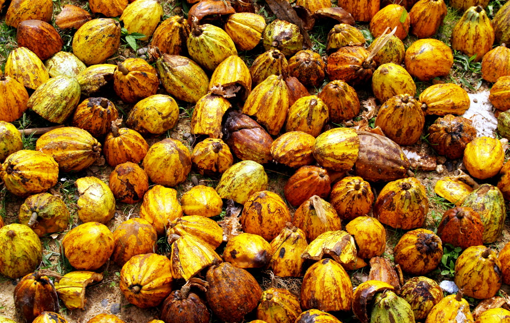 Cocoa pods in Sandeyah, Kailahun District, used for making black soap