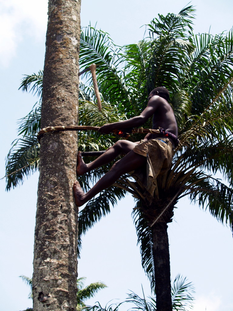 Almamy Mansaray, a master palm wine (poyo) tapper in Tuyama, Kailahun District Limbas are the experts